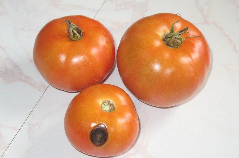 Maladie Tomate tâche noire : 8 Sources possibles …