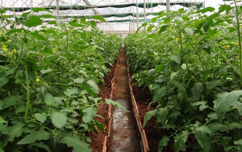 Bouturage Tomate : Transformez 5 plants en 50 (en 10 jours max)