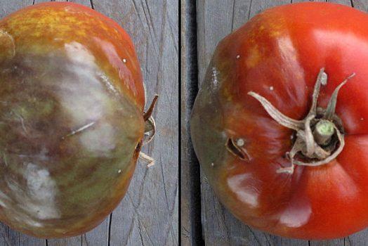 Comment arrêter le mildiou des tomates : 26 Solutions