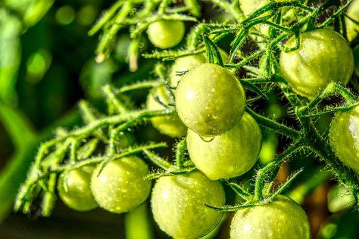 Mes tomates ne rougissent pas … mon voisin récolte les siennes