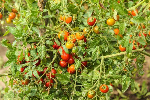 Enlever les gourmands des tomates : un débat stérile, car …