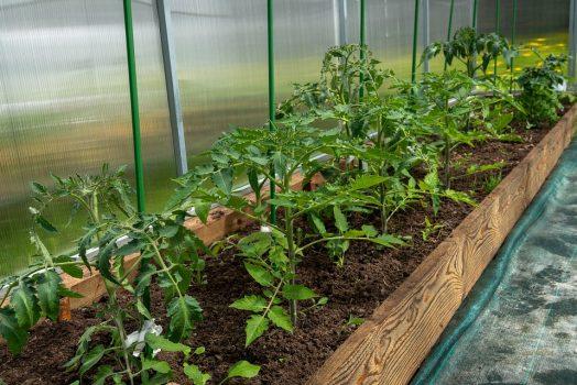 Culture tomate sous serre : 4 différences (dont une assez étonnante)