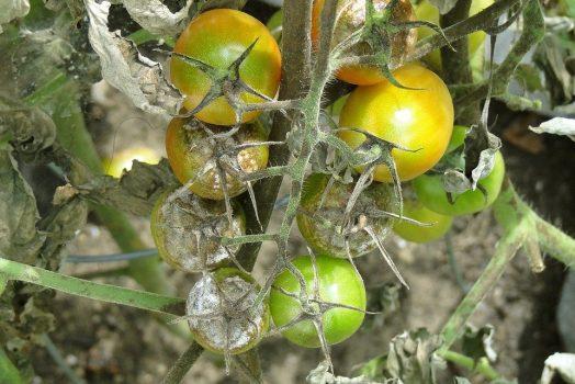 Maladie des tomates feuilles jaunes : Les 14 Sources à traiter